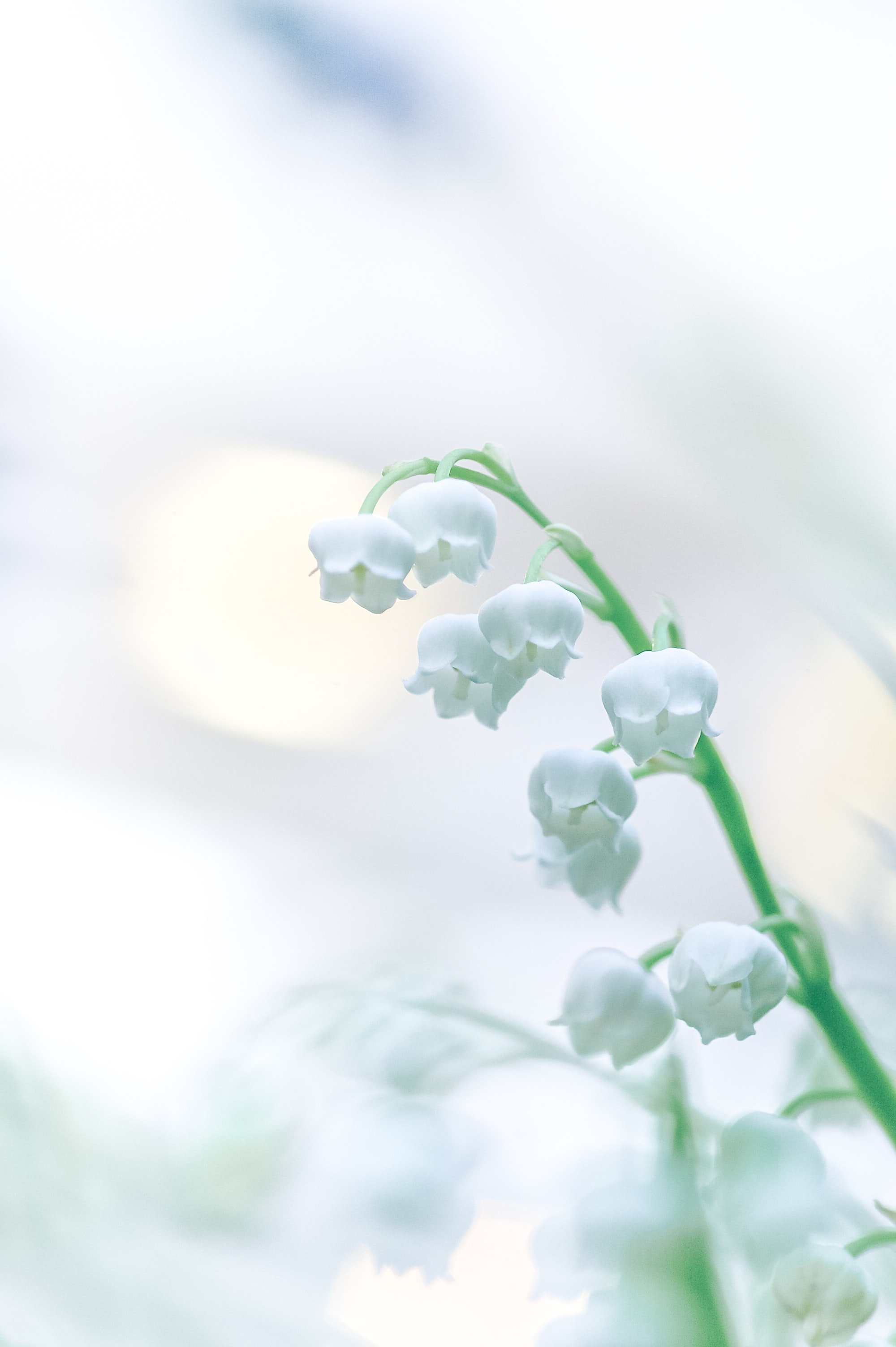 Lily of the valley | Unsplash